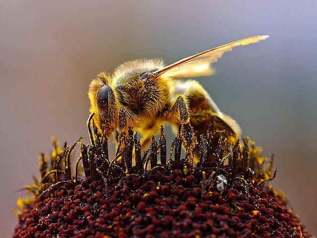 méh pollen az erekcióhoz kakas az erekciós fotók során