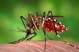 szúnyogok a péniszen mi történik a hímvesszővel idős korban