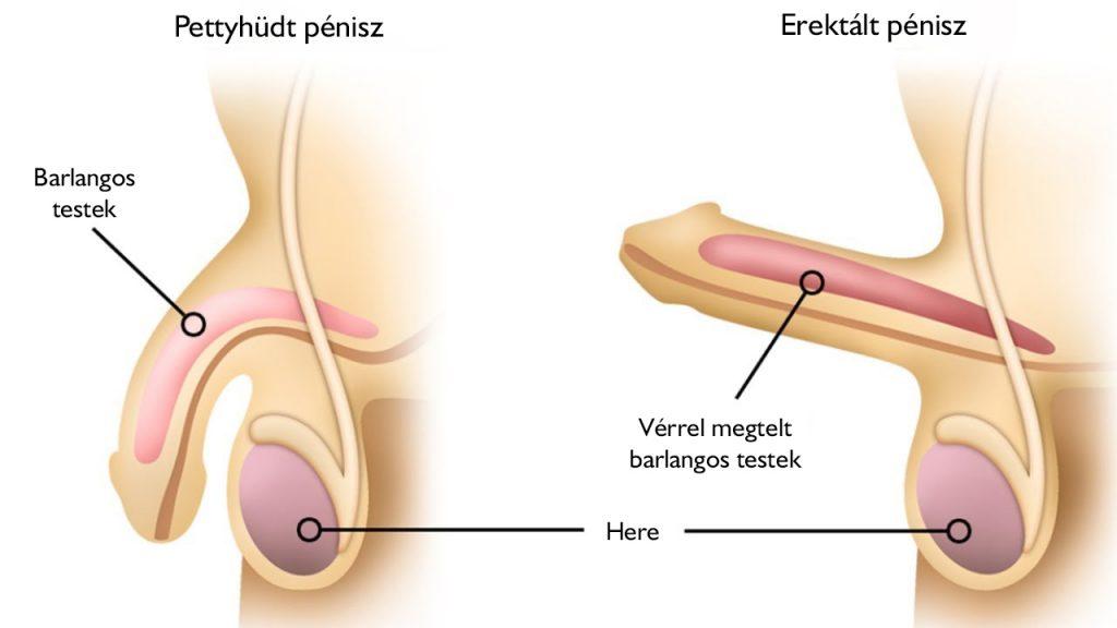 a férfiak erekciója az erekció során eltűnt erekciós érés