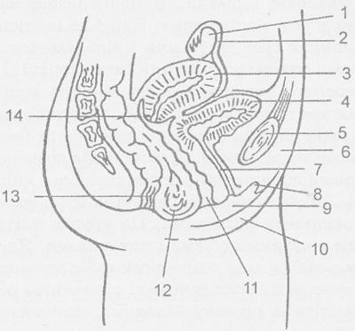 növelhető-e a pénisz szélessége