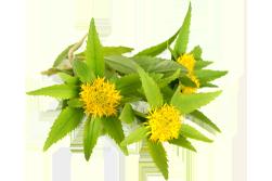 gyógynövények rossz merevedés merevedési kapszula gyógyszertár