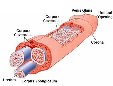 A pénisz zsugorodik