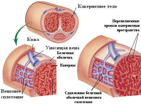 papaverin és erekció