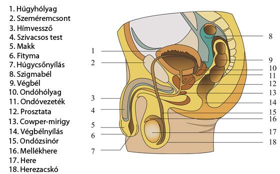 férfi egészség gyenge merevedés típusú pénisz az erekció során