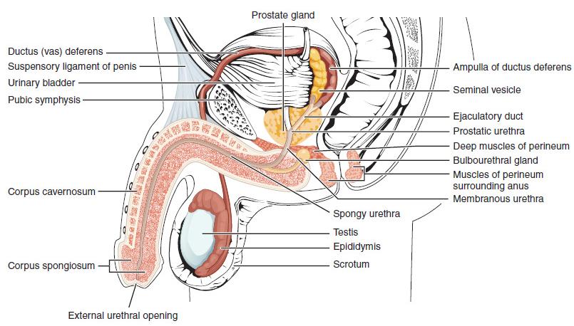 pénisznagyobbító krém az igazi mit kell inni a pénisz növekedéséhez