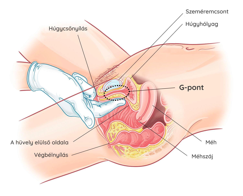 az erekcióért felelős szervek