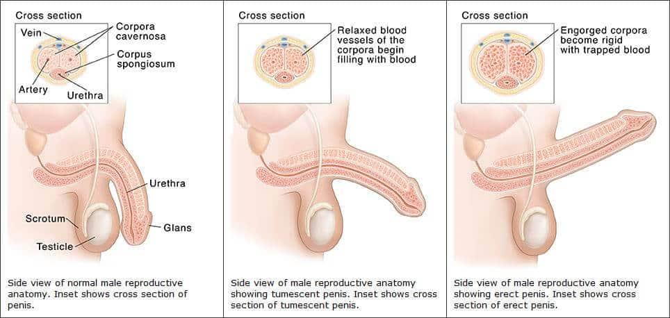 férfi pénisz erekciója