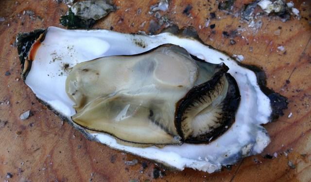 kagyló és erekció)